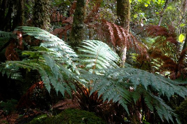 A samambaia é um símbolo nacional para a Nova Zelândia