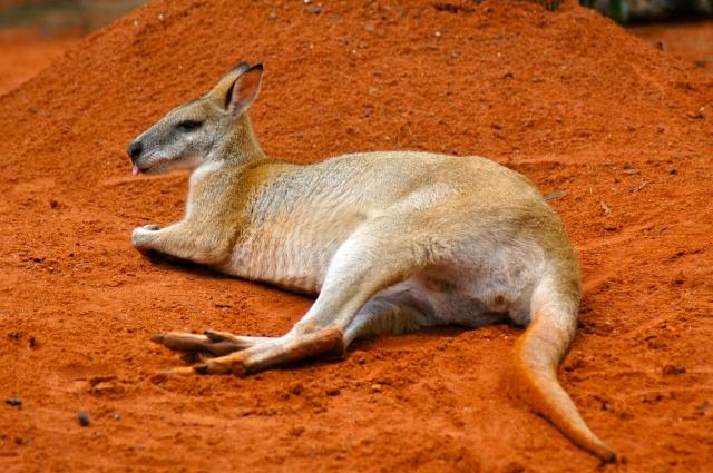 Canguru - o maior símbolo da Austrália