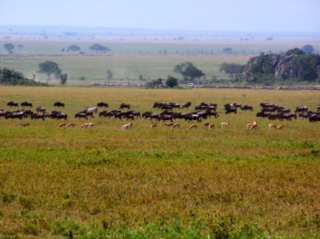 """Zebras, Gnus e Impalas se misturam na """"Grande Migração""""."""