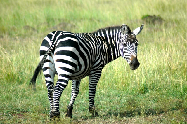 A zebra na savana do Quênia