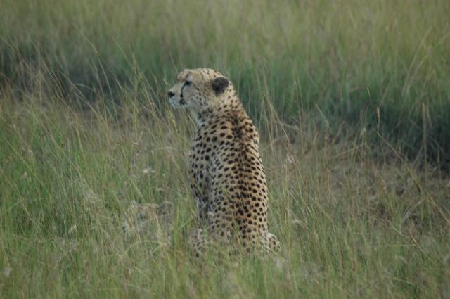 O guepardo ou chita