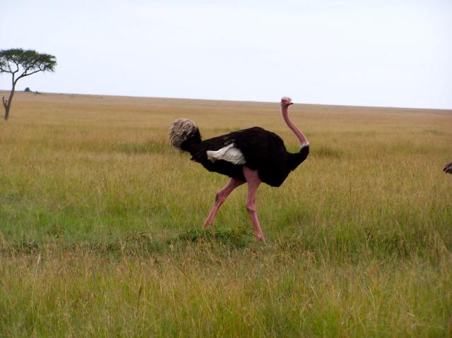 O avestruz macho possui penas pretas
