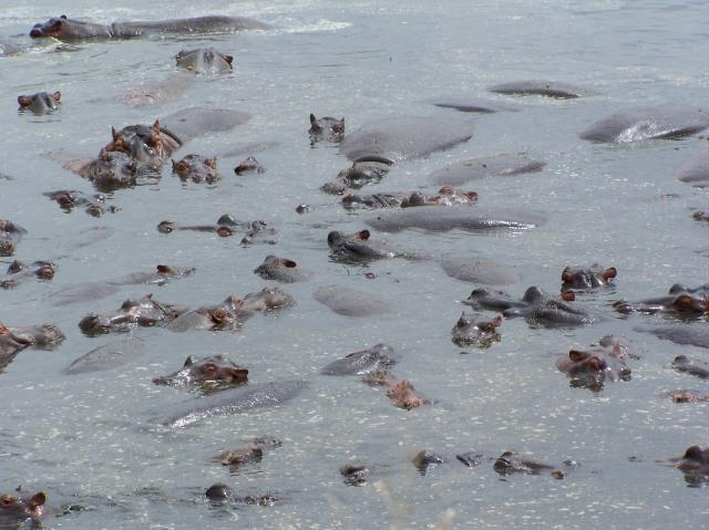 O Rio Mara cheio de hipopótamos