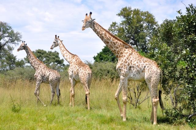 As girafas foram nos receber na pista de pouso