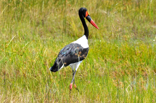Os storks são aves grandes e bastante coloridas