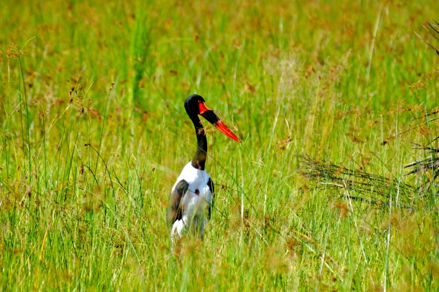 Stork - Uma garça colorida