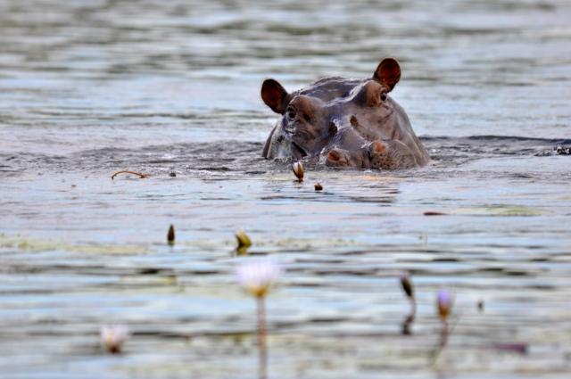 Pôr-do-sol com os hipopótamos
