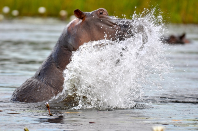 Os hipopótamos se incomodaram com a nossa chegada