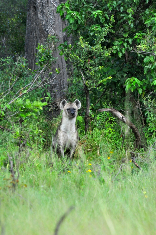 A hiena chegou para participar da festa