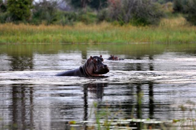 Os hipopótamos estão entre os animais mais agressivos da África