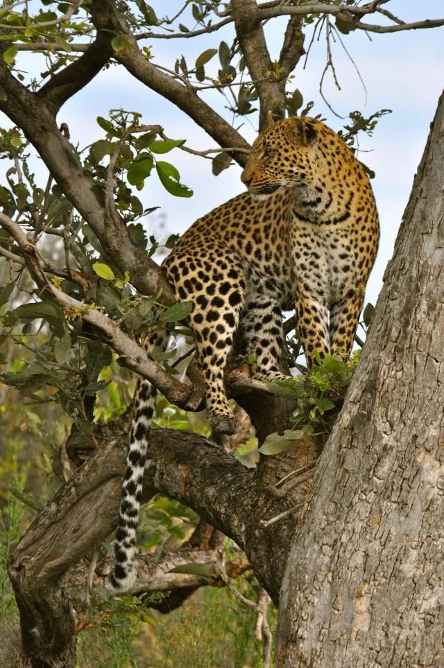 Os leopardos subiam nas árvores