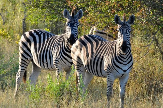 As zebras são exibidas e costumam posar para fotografia.