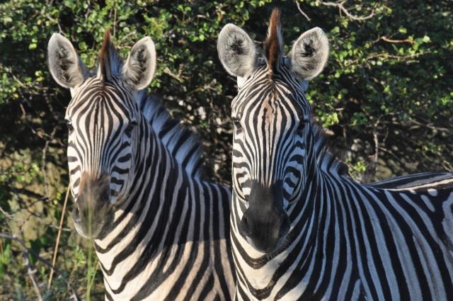 Zebras na região do Okavango