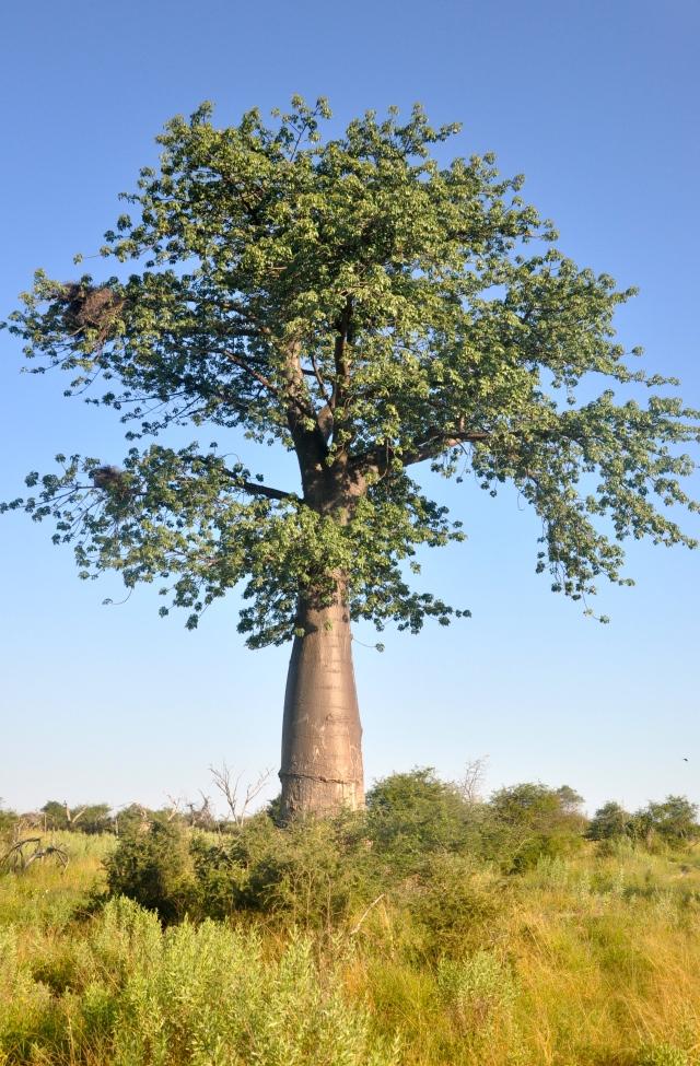 O baobá, árvore símbolo da África