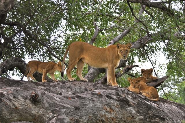 A imagem da leoa com os filhotes no alto da árvore foi maravilhosa