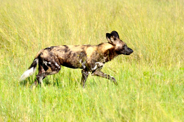 Mabeco, o Cão Selvagem Africano.