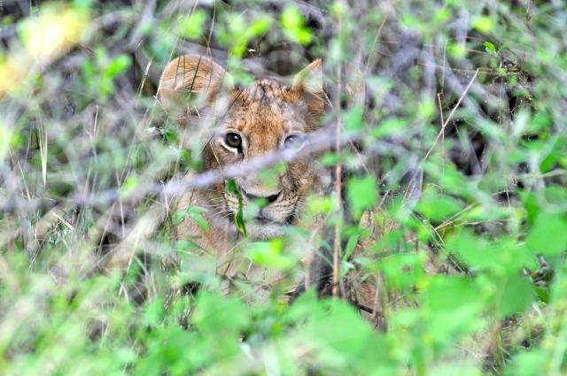 O filhote de leão camuflado