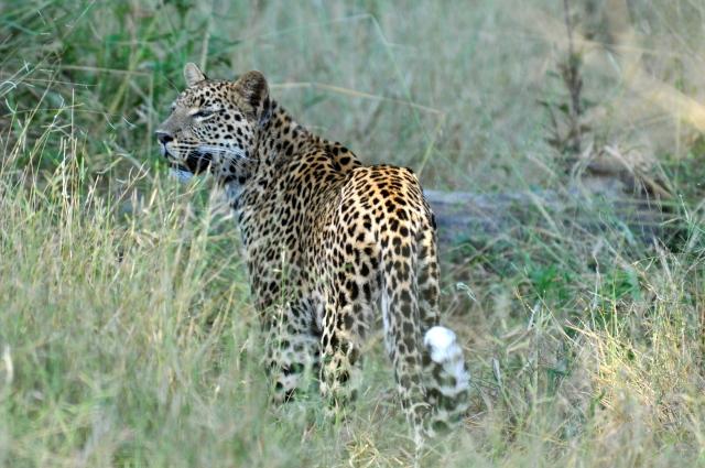 O leopardo perdeu o esquilo