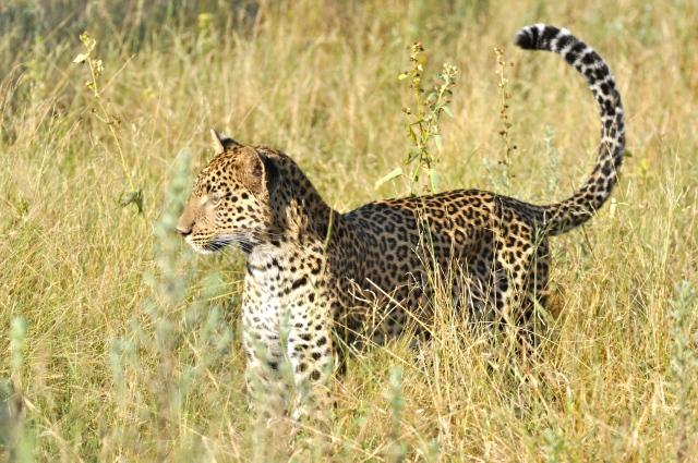 A cobra assustou o leopardo