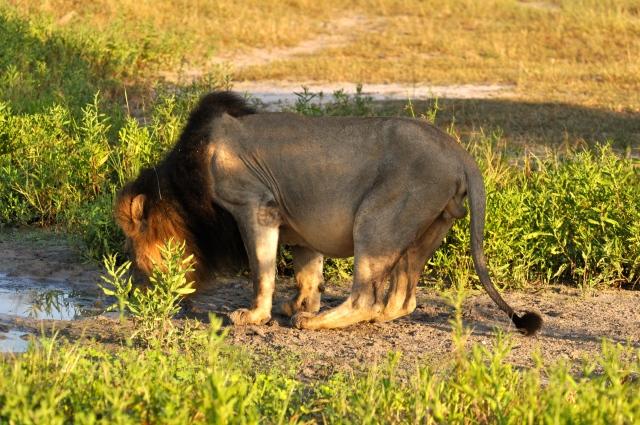 O Leão parou para beber água