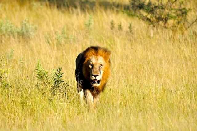 Um dos grandes momentos dos safaris.
