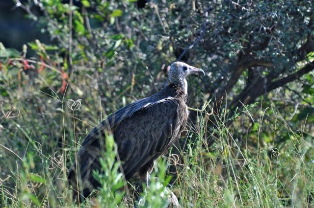 Os abutres sinalizam o local da caçada.
