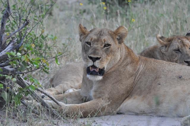 Os leões pararam para descansar