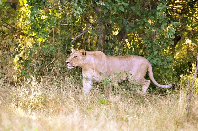 A Leoa prepara a caçada