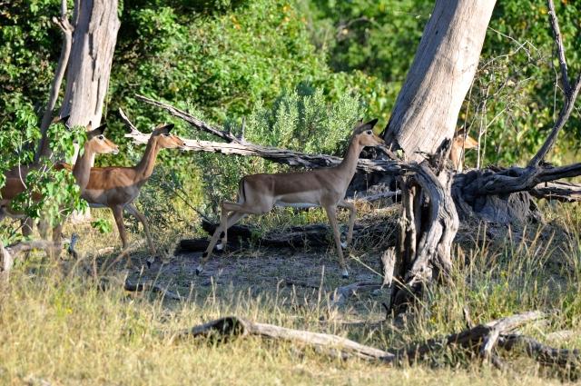 As Impalas enfrentam a Leoa