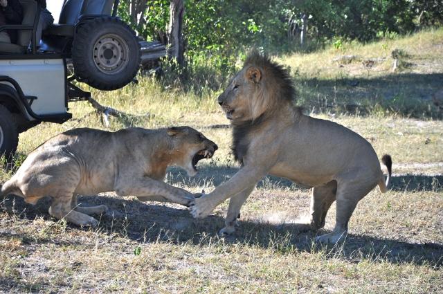 Os Leões ficaram muito próximos