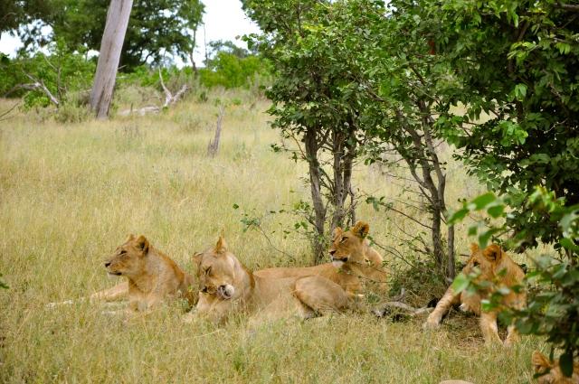 Os leões estavam descansando.