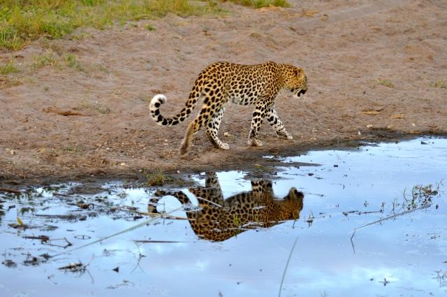 O show do leopardo