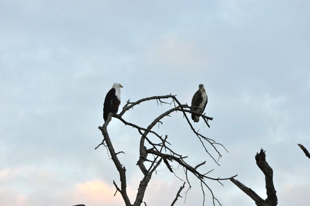 As Águias no silêncio da savana