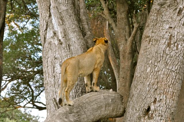Os Leões tentavam subir nas árvores.