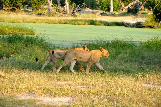 Os Leões estavam se divertindo.