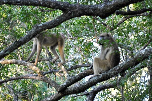 Os Babuínos estavam de castigo sobre as árvores.