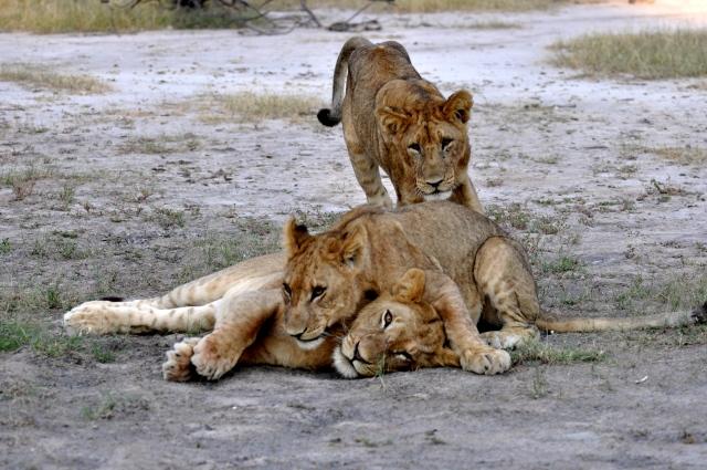 Os Leões deram um show.