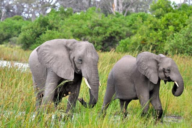 Os elefantes são comuns por aqui.