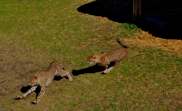 Guepardos os mamíferos mais velozes que existem.