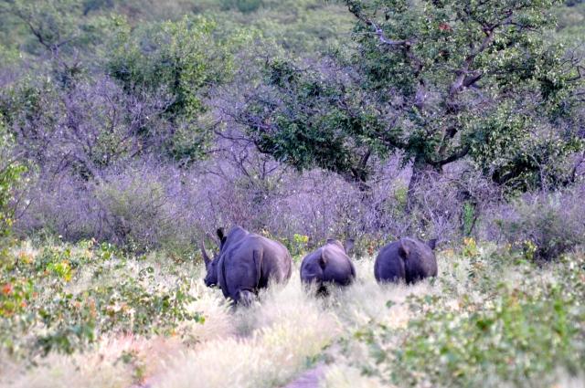 O rinoceronte branco é maior que o negro