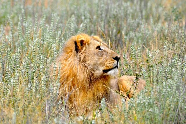 O belo Leão dourado
