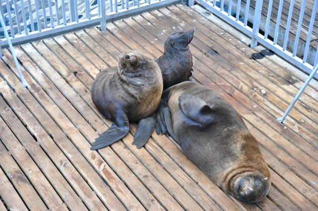 As focas descansam no Waterfront