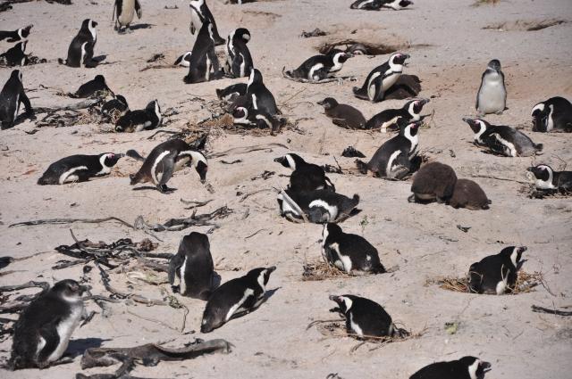 A grande colônia de pinguíns de Boulders na Península do Cabo