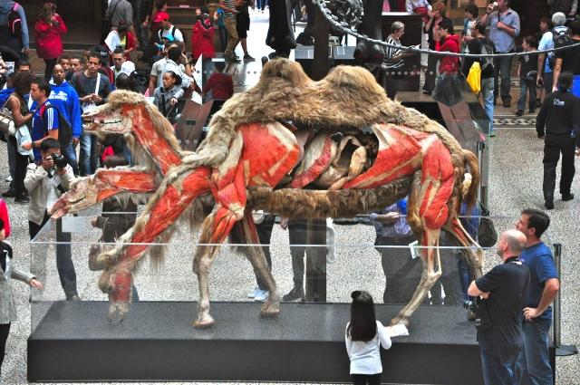 Camelo na exposição Animals Inside Out