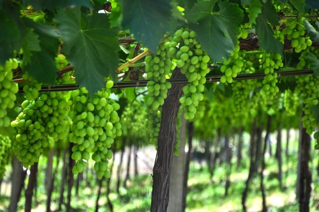 Vinhedo da vinícola Torcello.