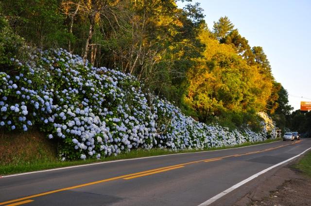 As hortênsias são plantadas nas encostas da Serra Gaúcha.