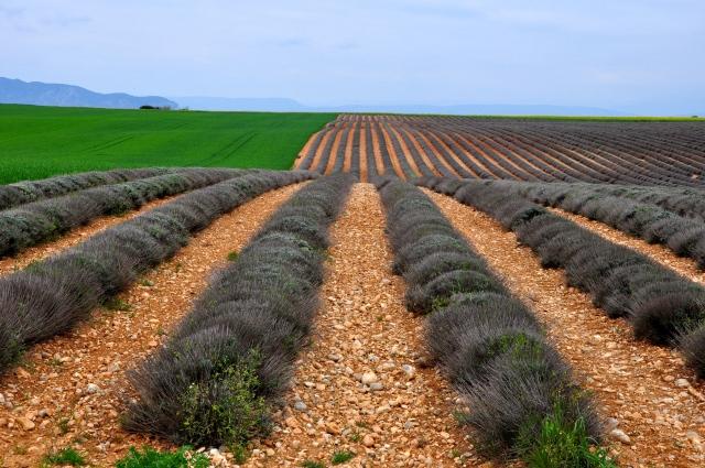 Os campos de lavanda da Provença