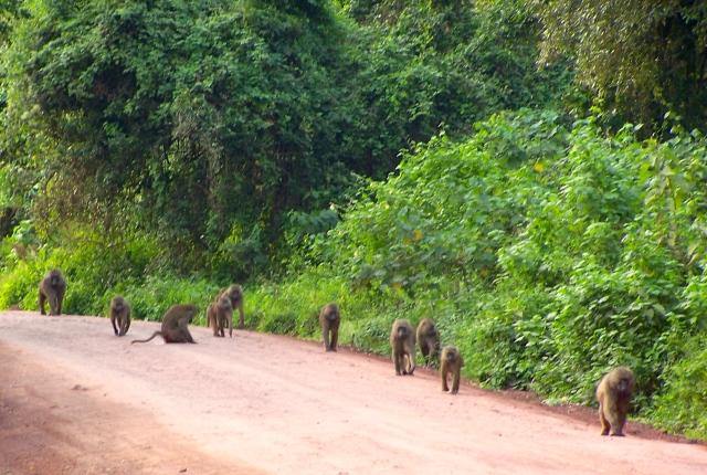 Os babuínos na entrada do Parque Nacional do Ngorongoro.