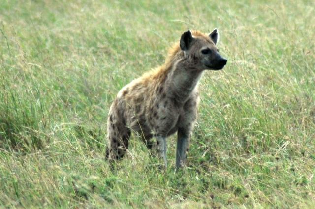 Uma hiena solitária no Serengeti.