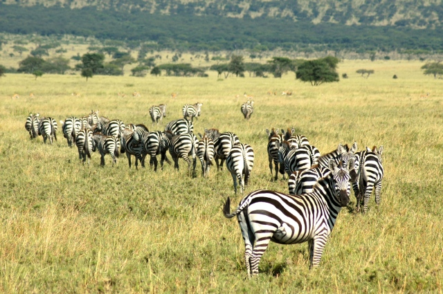 As pastagens são abundantes no Serengeti.